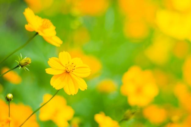 Laranja starburst flores, lindas flores de cosmos no campo Foto Premium