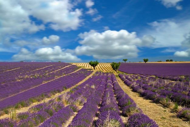 Lavanda flor desabrochando campos perfumados Foto Premium