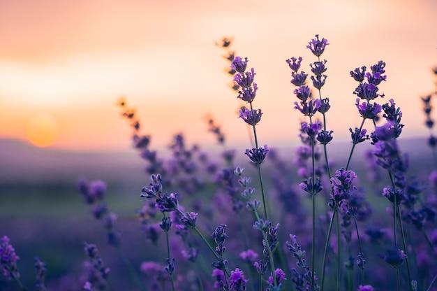 Lavender field no verão, cores naturais, foco seletivo. Foto Premium