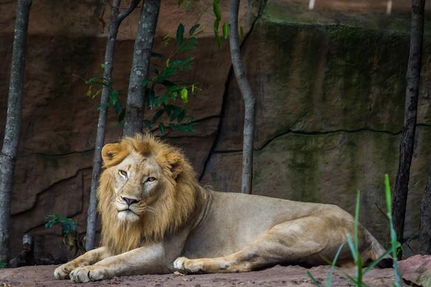 Leão africano descansando no chão Foto Premium