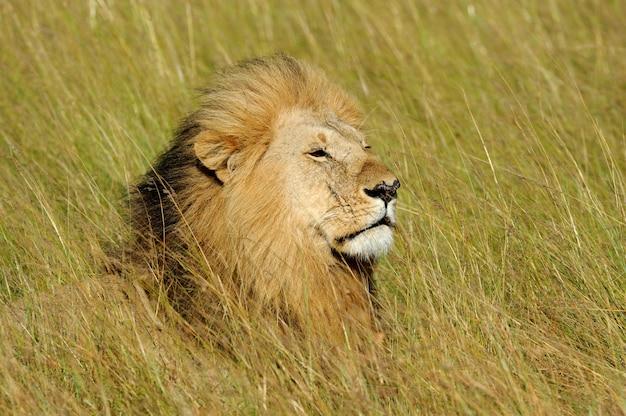 Leão africano no parque nacional da áfrica do sul Foto gratuita