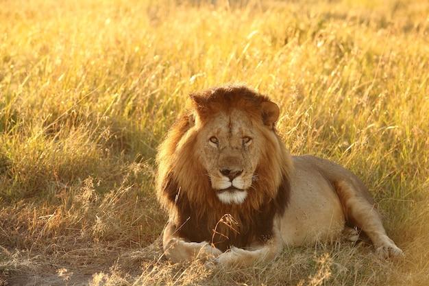 Leão deitado em um campo coberto de grama sob a luz do sol Foto gratuita