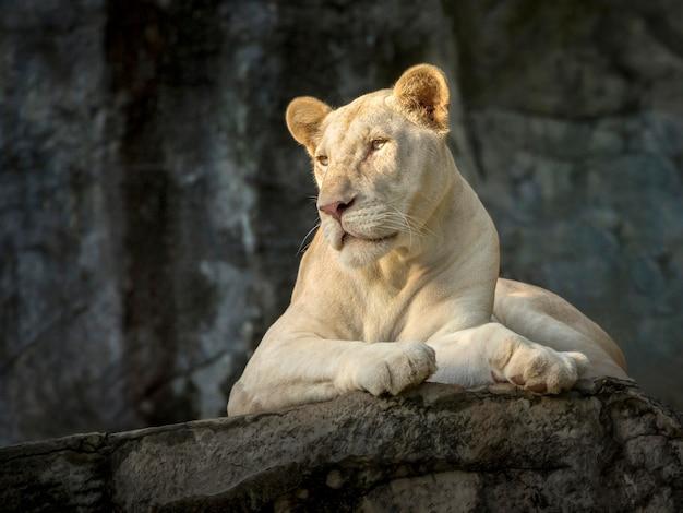 Leão fêmea branco na atmosfera natural do jardim zoológico. Foto Premium