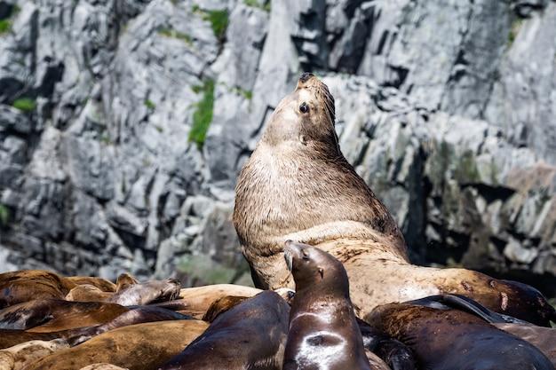 Leão-marinho-de-steller (eumetopias jubatus) - rochas de corrida, victoria bc, canadá Foto Premium