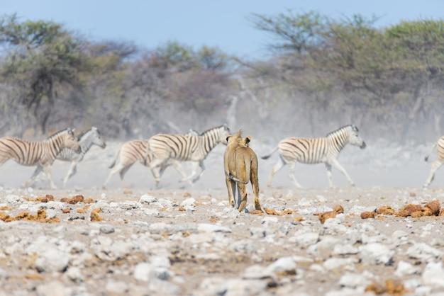 Leão masculino novo, pronto para o ataque, andando para o rebanho das zebras que correm afastado, defocused. safári dos animais selvagens no parque nacional de etosha, namíbia, áfrica. Foto Premium