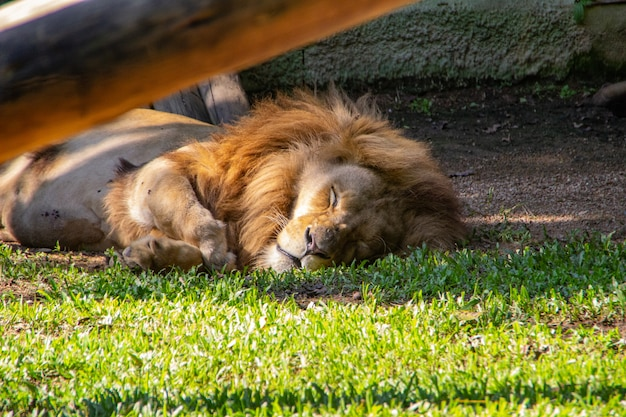 Leão no zoológico de pomerode em santa catarina, brasil Foto Premium