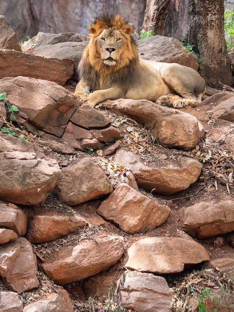 Leão o rei da vida selvagem Foto Premium