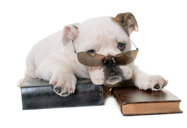 Leitura de bulldog inglês filhote de cachorro Foto Premium