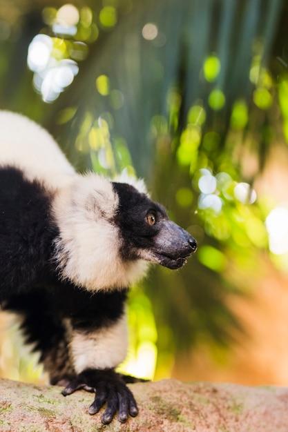 Lemur Foto gratuita