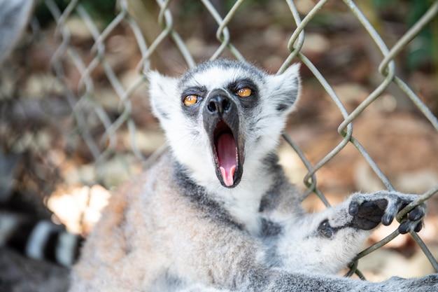 Lêmure de anel-atado de bocejo no jardim zoológico. fim do catta do lêmure acima do retrato. Foto Premium
