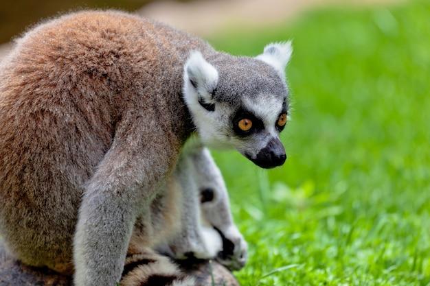 Lêmure de cauda em forma de anel, lemur catta Foto Premium