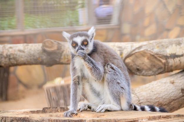 Lêmure no zoológico. um animal em cativeiro. cauda listrada. Foto Premium