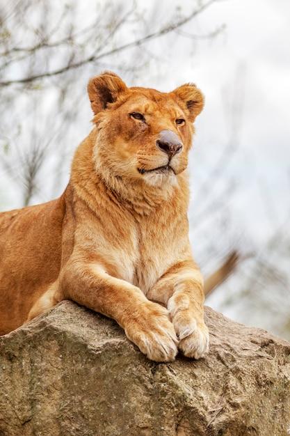 Leoa descansando em uma rocha Foto Premium