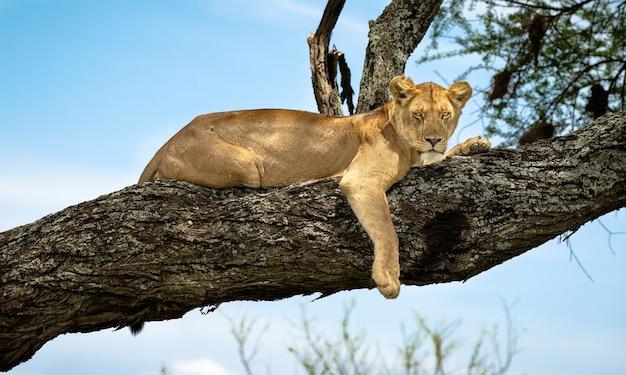 Leoa nos galhos de uma árvore na áfrica Foto Premium