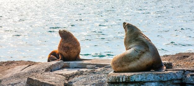 Leões de mar de steller na água da baía de avacha em kamchatka. Foto Premium