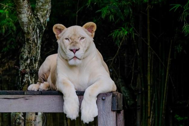 Leões juntos na madeira no zoológico Foto Premium