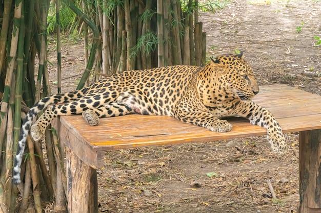 Leopard estava deitado no banco. Foto Premium