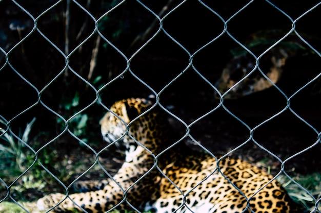 Leopardo manchado em gaiola Foto gratuita