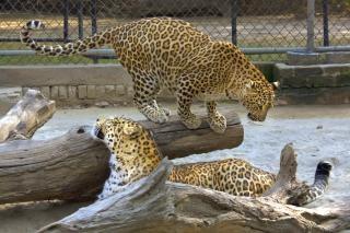 Leopardo no jardim zoológico de nova deli Foto gratuita