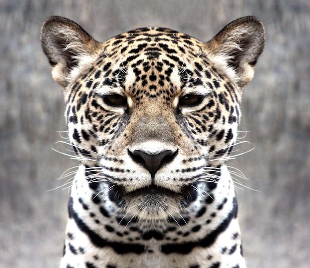 Leopardo olhando para a câmera. Foto Premium