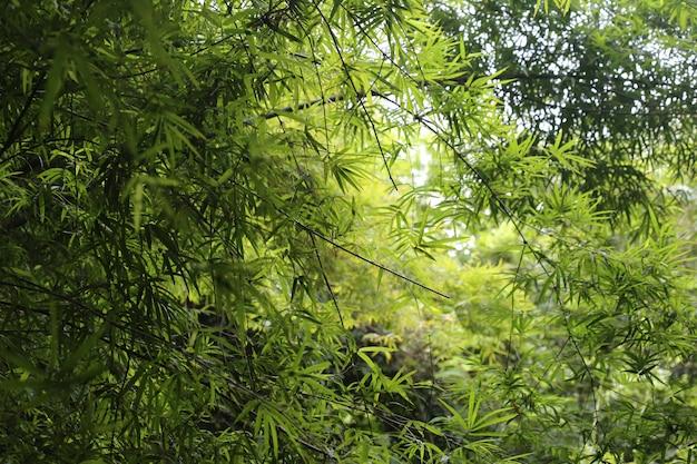 Licença de árvore de bambu, floresta Foto Premium