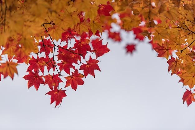Licença vermelha e alaranjada do bordo na árvore para o fundo. Foto Premium