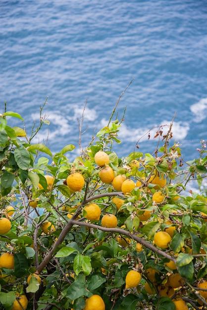 Limões frescos amarelos pendurados em uma árvore em um pomar de frutas na superfície azul do mar Foto Premium