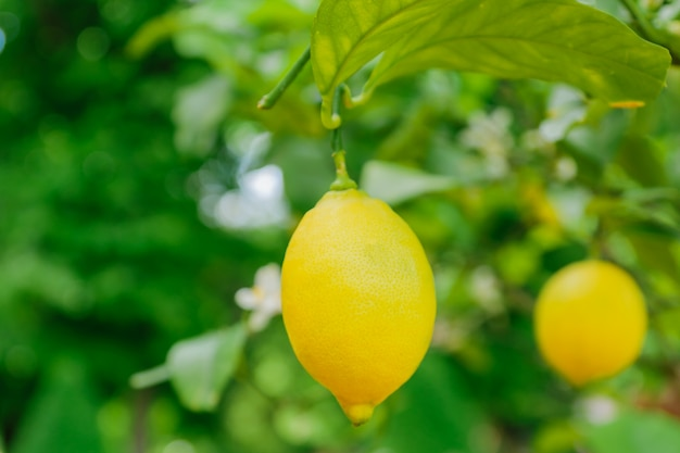 Limões suculentos brilhantes pendurados em uma árvore. cultivo de frutas cítricas, foco suave Foto Premium