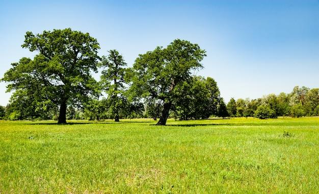 Linda árvore fofa cresce em campo no contexto da floresta e do céu azul em um dia ensolarado de primavera quente. Foto Premium