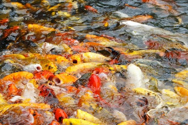 Linda carpa chique ou peixe koi estão nadando na lagoa Foto Premium