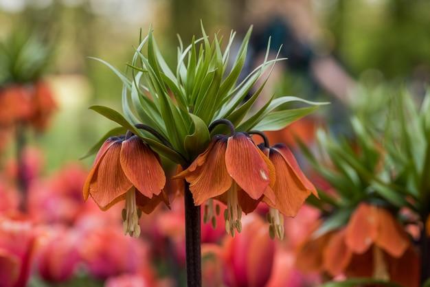 Linda coroa flor imperial Foto gratuita