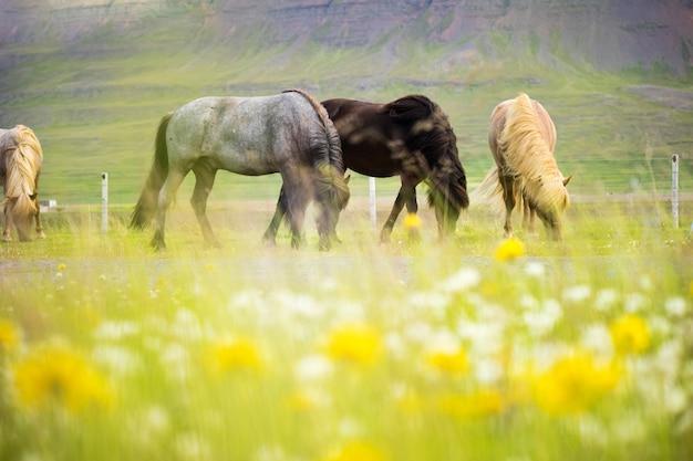 Linda de cavalo islandês na islândia, verão Foto Premium