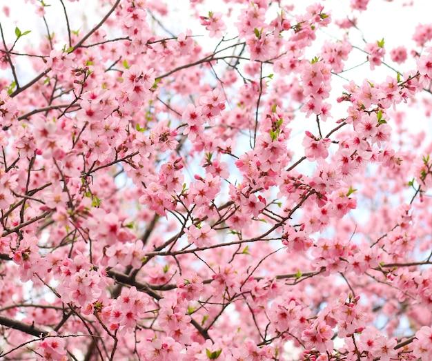 Linda flor de cerejeira Foto gratuita