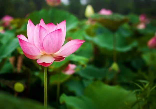 Linda flor de lótus e folha de lótus verde na lagoa. espaço em branco da cópia. Foto Premium