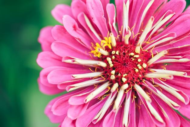 Linda flor rosa no jardim ao ar livre, macro fotografia de flores, primavera, flor da natureza. Foto Premium