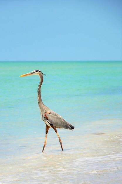 Linda garça azul em pé na praia, aproveitando o clima quente Foto gratuita