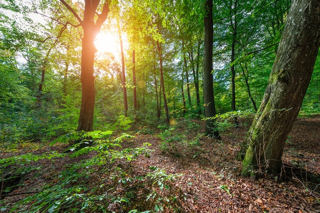 Linda manhã primavera verde floresta Foto Premium