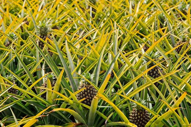 Linda planta de abacaxi na áfrica do sul durante o dia Foto gratuita