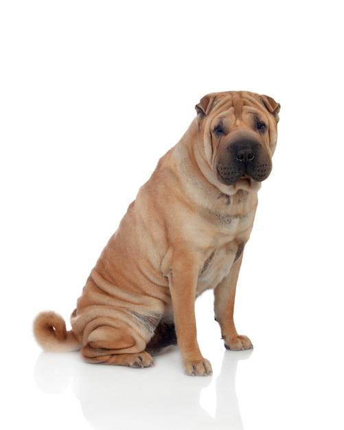 Linda raça de cachorro shar pei Foto Premium