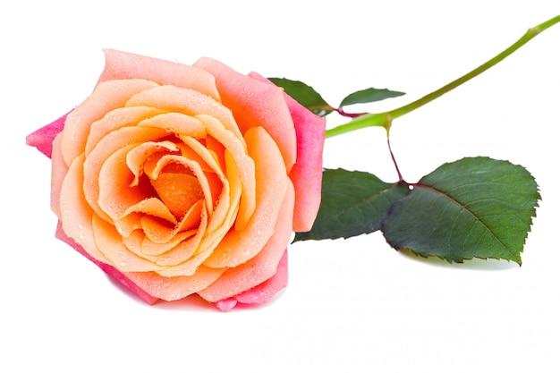 Linda rosa com água fresca cai sobre ele isolado no branco ba Foto Premium