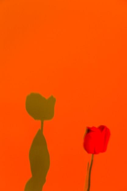 Linda rosa e sua sombra em um fundo laranja Foto gratuita