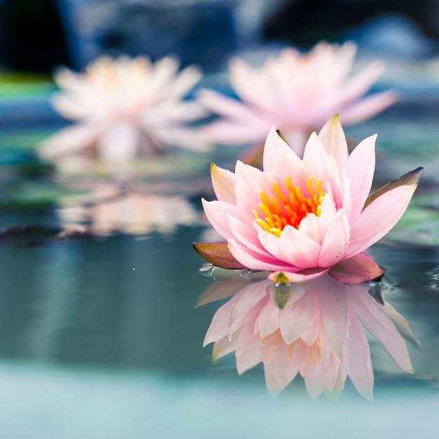 Linda rosa nenúfar ou flor de lótus na lagoa Foto Premium