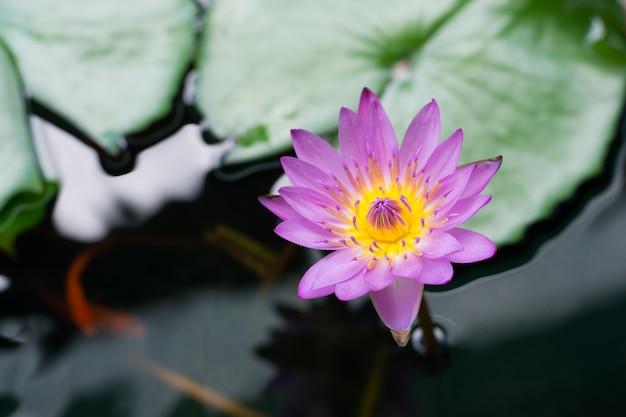 Linda rosa nenúfar ou flor de lótus Foto Premium