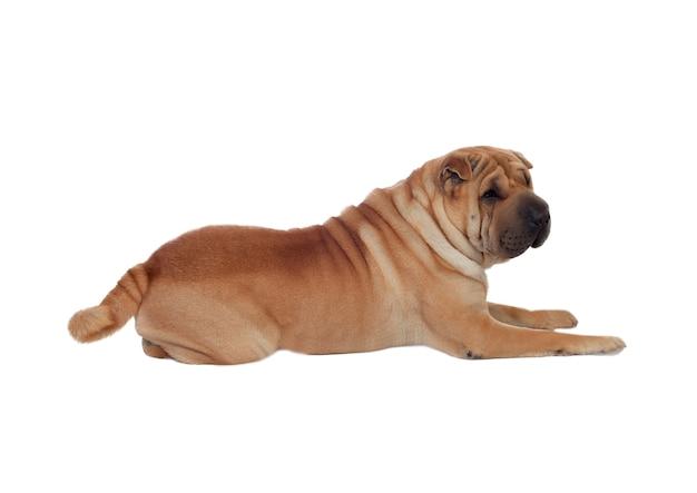 Linda shar pei dog breed isolado em um fundo branco Foto Premium