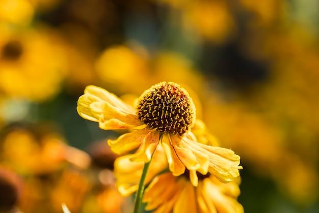 Lindas flores amarelas no jardim Foto Premium