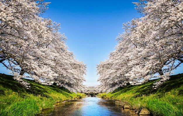 Lindas flores de cerejeira. sakura floresce no japão. viajar na primavera. Foto Premium