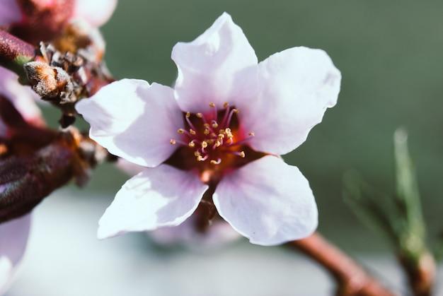 Lindas flores de cerejeira. sakura Foto Premium