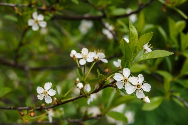 Lindas flores de close-up de cerasus árvore. Foto Premium