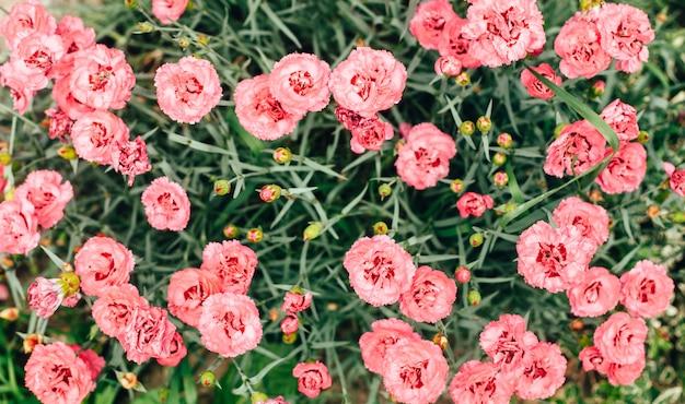 Lindas flores de cravo rosa fechem no jardim Foto Premium