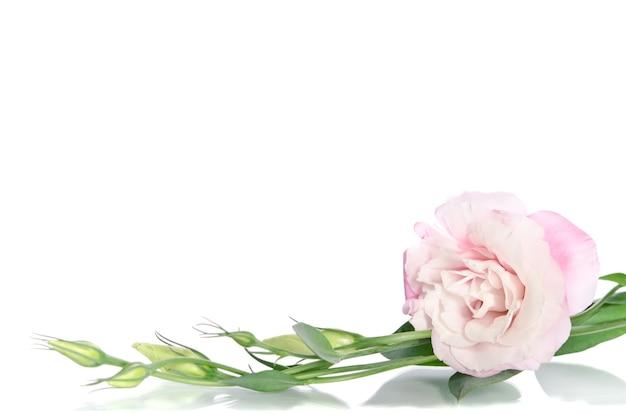 Lindas flores de eustoma com folhas e botões em branco Foto Premium